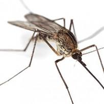 Sivrisinek