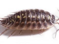 Tespihböceği
